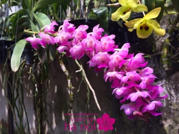 lan hồ điệp màu hồng (7)