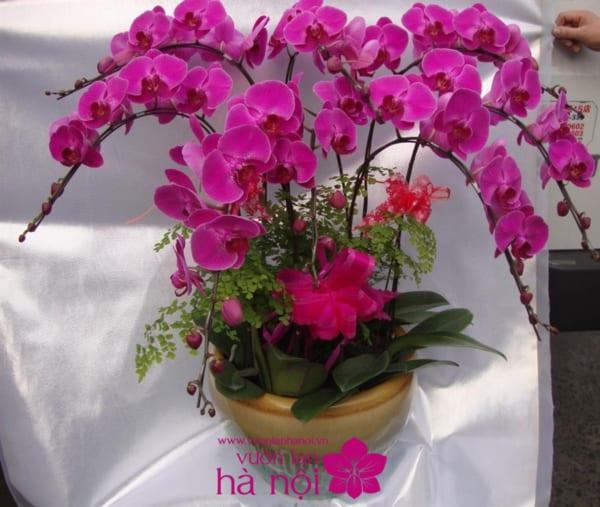 mua hoa lan hồ điệp 1