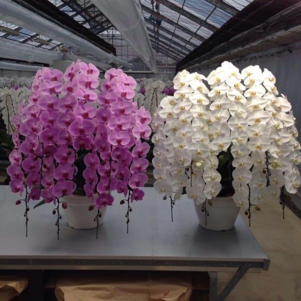 Tuyển Thợ cắm hoa lan hồ điệp