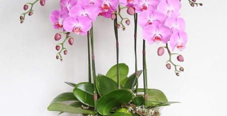 Các loại hoa lan hồ điệp